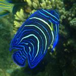 Blue Angelfish (Juv)