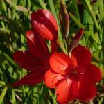 Schizostylis (kaffir lily)