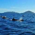 Dolphins with the Poor Knights Islands in the background