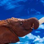 Elephant orphan Shukuru helping herself to milk