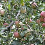 Apple Orchard on the way from Srinagar to Yousmarg
