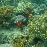 finding nemo, clown fish here are a lot bigger compared to the islands near coron town proper
