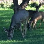 Mule deer as breakfast guests!