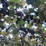 Those grape arbors!