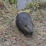 beaver at the pond opposite the tennis club near the inn