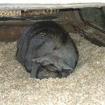 Amazing pig!