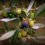 In the Olive Grove