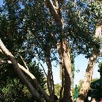 l'eucelyptus sur la terrasse