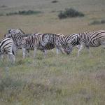 Lots of Zebra