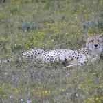 Chilled out male cheetah