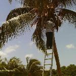 Rodney up a coconut tree