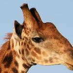 I wanted to see giraffe eyelashes. Doc & Siza found them for me