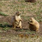 Plenty of prairie dogs