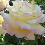 beautiful rose at the court garden