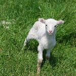One of the baby sheep