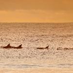 Dolphins on Mollymook beach
