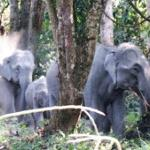 Wild elephants crossing