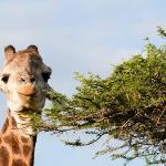 Giraffe at Tree Lodge Reception