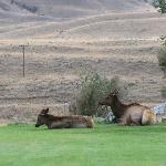 Local elk herd in the front yard
