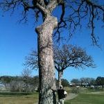 17th fairway on Links, big tree in early spring
