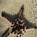 Starfish plentiful in water around island