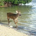 Key deer are friendly!