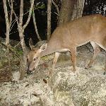 More Key Deer
