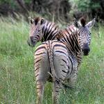 Zebra on Ubizane Game Drive