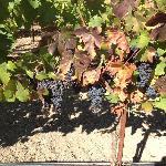 Grape at Kendall-Jackson