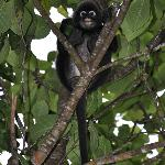 Spectacled langur monkeys (dusky leaf monkey)