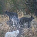 Some of the younger wolves