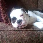 Lilly is our lazy English Bulldog