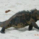 iguanas, protagonistas