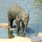 baby elephant in river