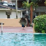 Peacock at the pool