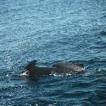 Pilot whale cow and calf surfacing again.
