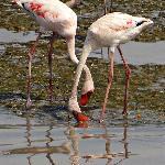 Flamingoes at Sewri Bay - Mumbai