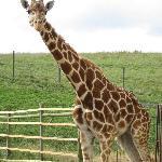 a sweet giraffe