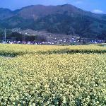 Iiyama, Nanohana (rape blossoms), May