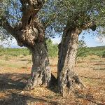 300 year old olive trees