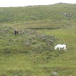 Connemara Ponnys