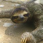 Three toed sloth crossing the road