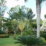 La palmier du voyageur