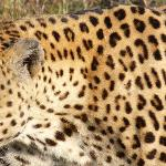 Close encounter with a leopard