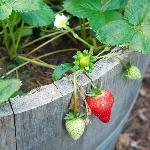 Fresh Strawberries from the yard...