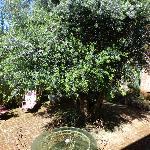 el olivo visto desde la habitación