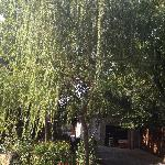 On of the willow trees