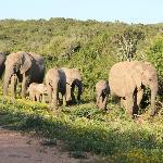 Kudde olifanten in Addo