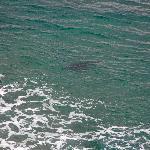 indianhead...squalo tigre segue un surfista