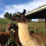 Few of the llamas